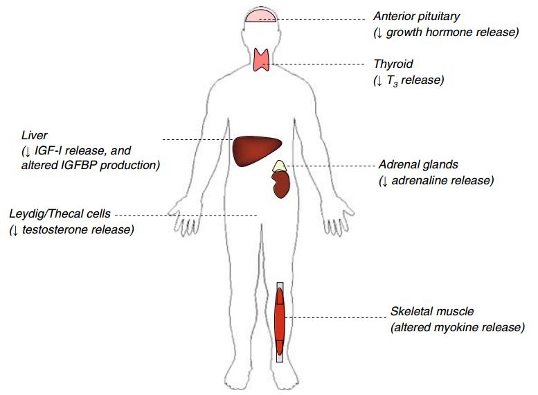 Hormone decline (Ryall et al., 2008)